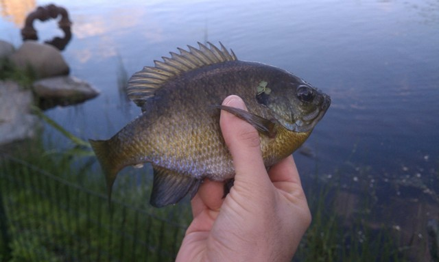 Catching Bluegill fish at The Meer in Northern Central Park