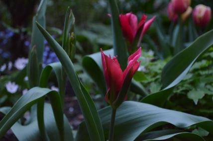 Tulips 6