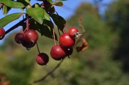 Red berries in Riverside Park
