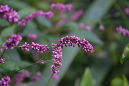 Lavender Flowers in Riverside Park