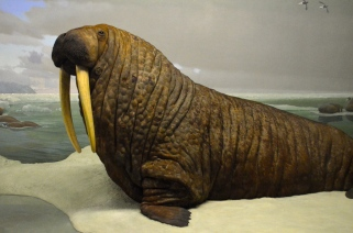 Walrus at the American Museum of Natural History