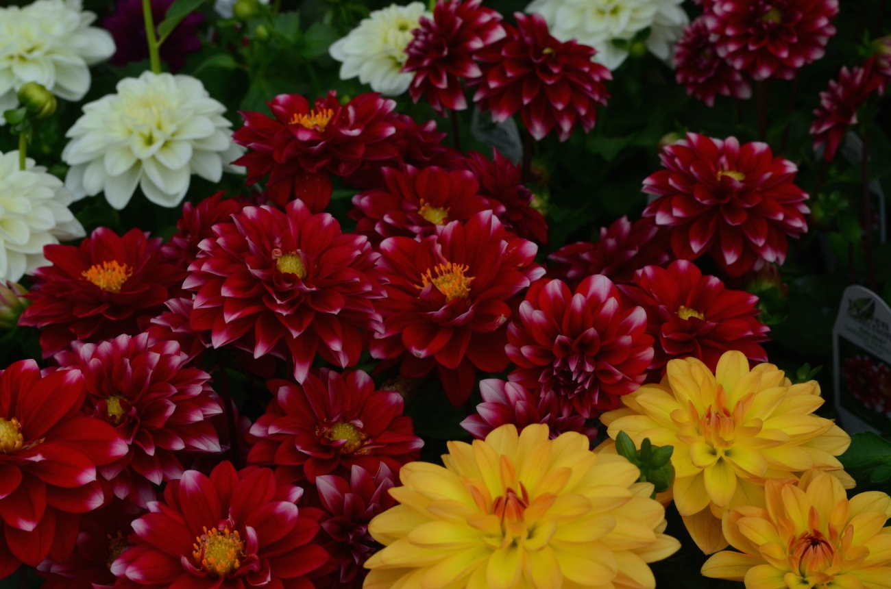 Red Yellow and White Flowers