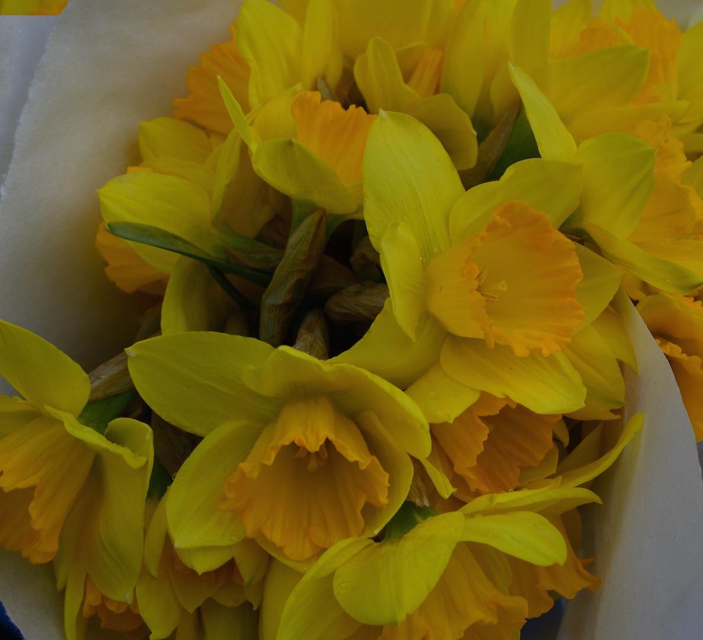 Yellow Daffodills