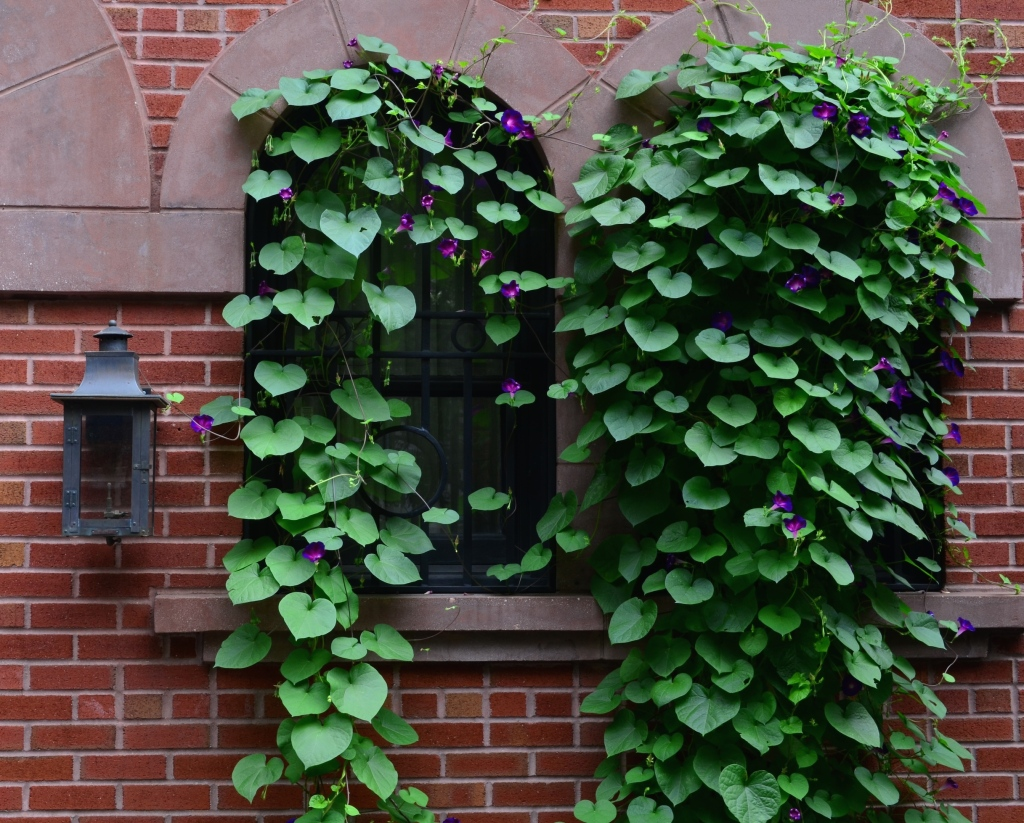 Morning Glories In Brookyln Heights