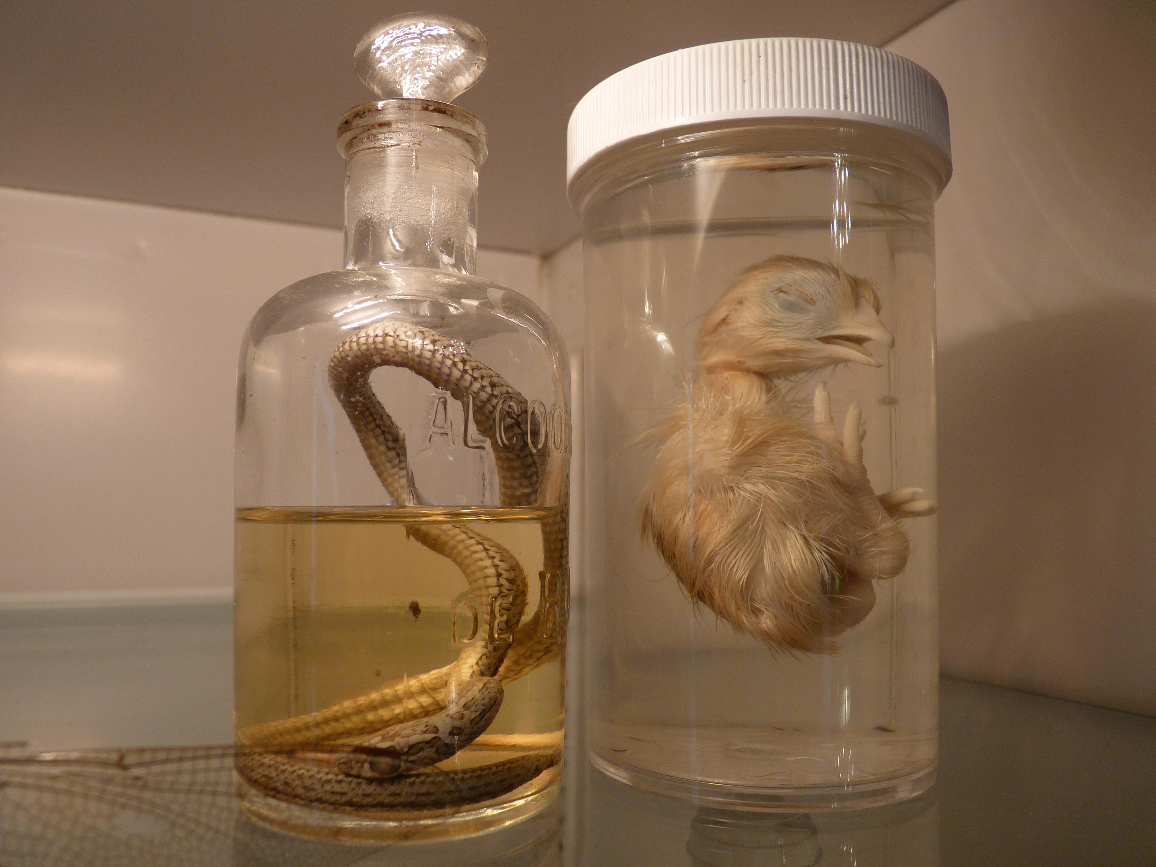 Pickled Snake and Chicken At The Morbid Anatomy Museum – Gowanus ...