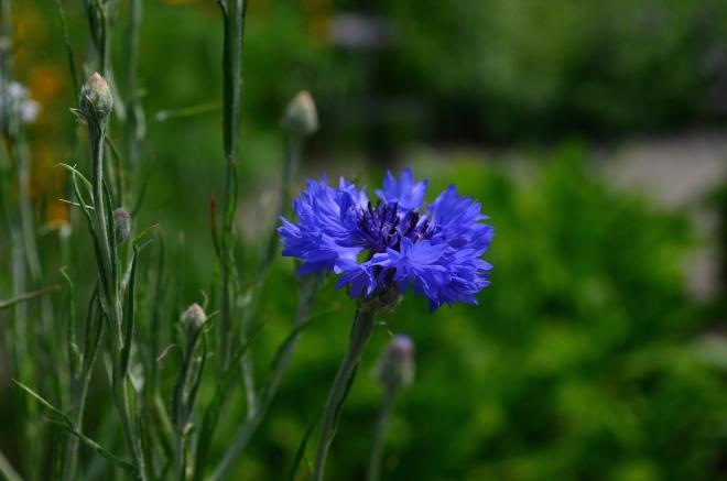 Violet Summer Flower at Wave Hill