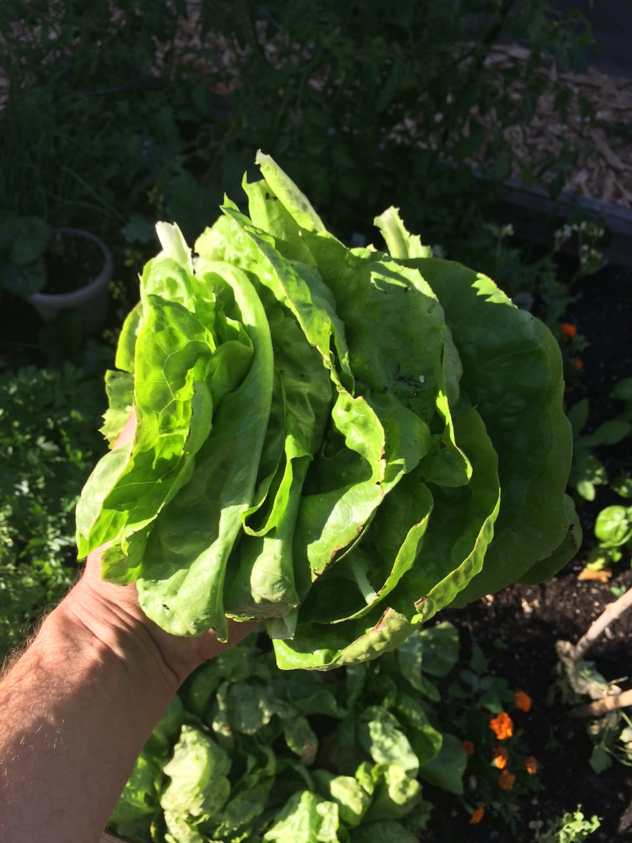 Freshly Harvested Lettuce Leaves