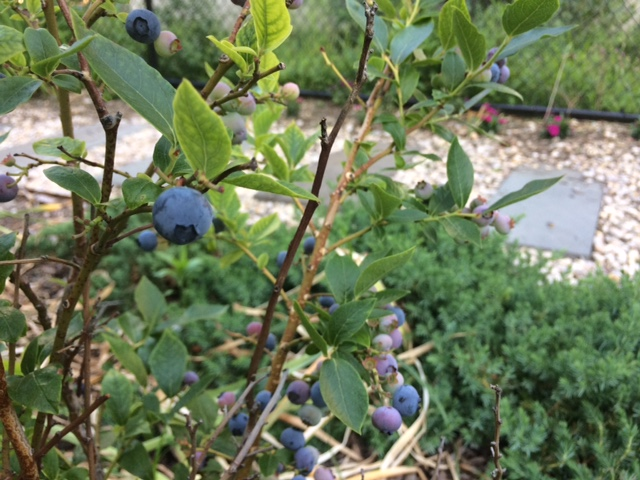 Harlem Blueberries