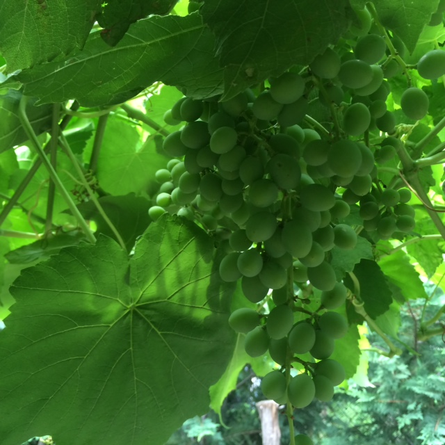Harlem Grapes