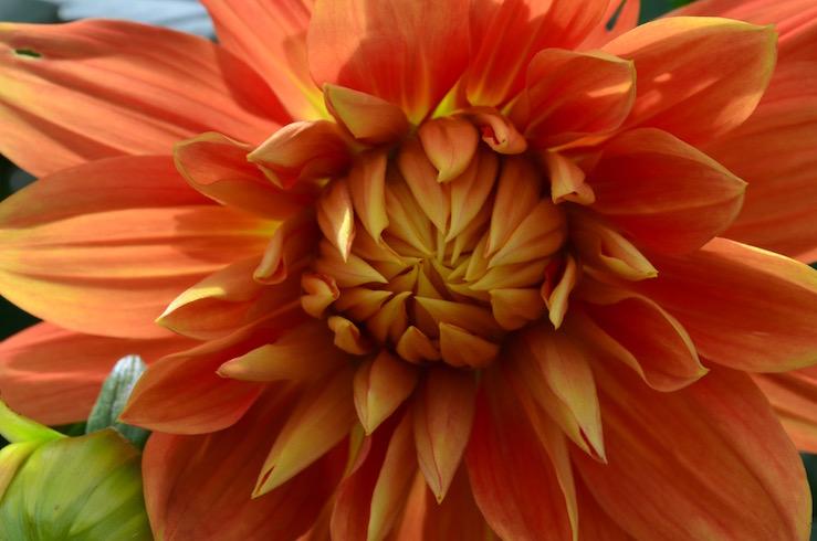 Flower Opening at Claude Monet Garden