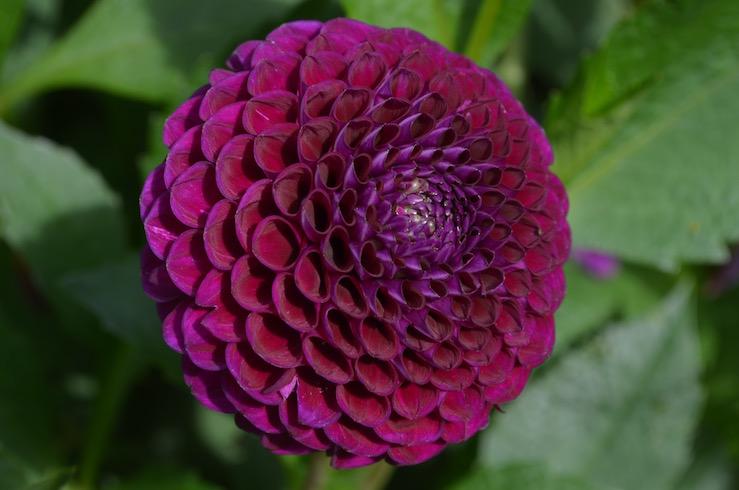 Purple Flower at Claude Monet Garden