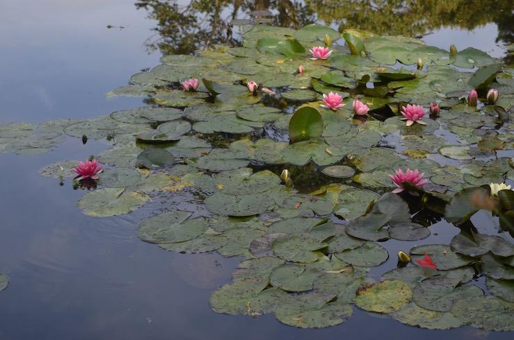 Red Water Lilies at Claude Monet Garden