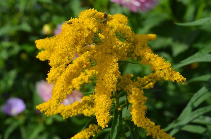 Yellow Flower at Claude Monet Garden